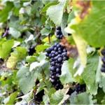 Disfruta la Ruta del Vino de Alicante